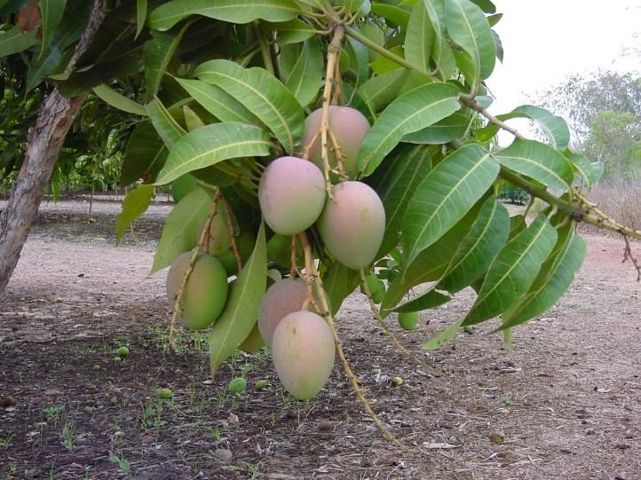 mango_k_on_tree1-736453.jpg.opt722x541o0,0s722x541